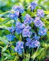 Tradescantia x andersoniana 'Concord Grape' - Virginia Spiderwort