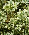 Buxus sempervirens 'Aureovariegata' - English box