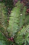Dryopteris cycadina - shaggy shield fern