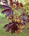 Acer platanoides 'Crimson King' - Norway maple