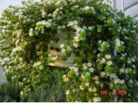 Bacopa Bridal Showers Plant