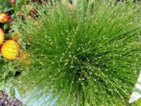 Isolepis cernua - Fiber Optic Grass