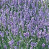 Lavandula angustifolia 'Lady' - English Lavender