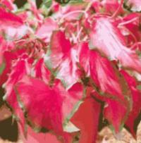 Caladium bicolor - Fancy Leafed Caladiums