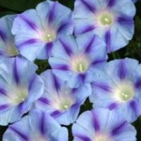 Ipomoea purpurea 'Light Blue Star' - Morning Glory