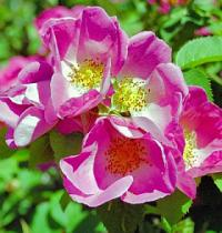 Rosa 'Complicata' - shrub rose