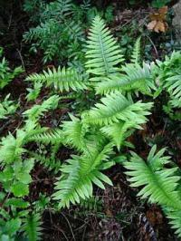 Polypodium vulgare - common polypody