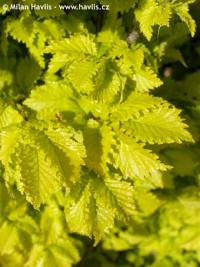 Ulmus x hollandica 'Wredei' - golden elm