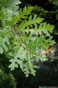 Quercus cerris - Turkey oak