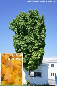 Acer platanoides 'Columnare' - Norway maple