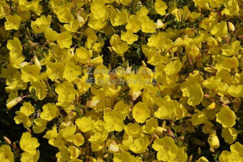 Oenothera fruticosa 'Hohes Light'  - pupalka