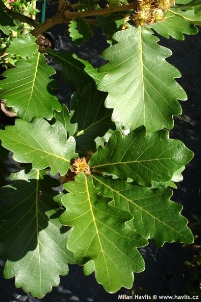 Quercus dentata 'Carl Ferris Miller' - Daimyo oak, Korean oak