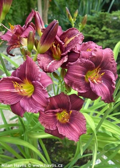 Hemerocallis 'Purple d'Oro' - denivka