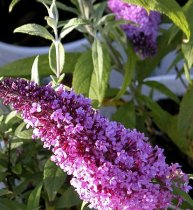 Buddleia davidii - Peacock Butterfly Bush