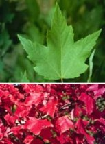 Acer rubrum: Red Maple