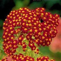 Achillea Fire King