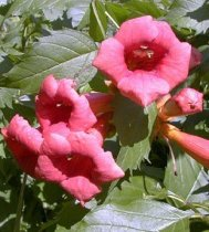 campsis radicans flamenco about. Black Bedroom Furniture Sets. Home Design Ideas