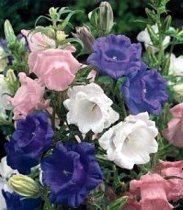 Campanula medium 'Calycanthema Mix' - Canterbury Bells Cup and Saucer