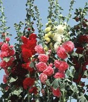 Alcea rosea Chater s Double Mix - Hollyhock: 1708