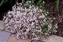 Gypsophila repens 'Rosea' - Creeping Baby's Breath