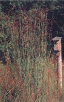 Andropogon gerardii - Big Bluestem, Turkeyfoot