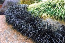 ophiopogon planiscapus nigrescens about. Black Bedroom Furniture Sets. Home Design Ideas