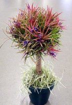 Tillandsia ionantha - Bonsai Topiary Airplant Tree