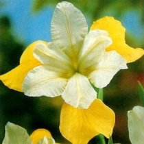 Iris sibirica 'Butter and Sugar' - Siberian Iris