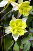 Aquilegia chrysantha 'Denver Gold' - Columbine