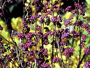 Callicarpa dichotoma 'Early Amethyst' - Purple Beautyberry