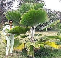 Pritchardia pacifica - Fiji Fan Palm
