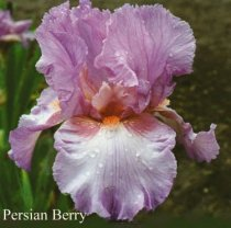 Iris 'Persian Berry' - Tall Bearded Iris