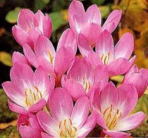 Colchicum 'The Giant' - False Autumn Crocus