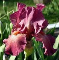 Iris 'Lady in Red' - Dwarf Bearded Iris