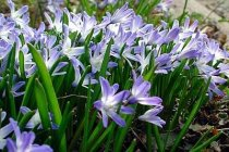 Chionodoxa forbesii - Glory of the Snow
