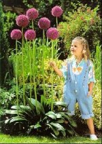 Allium 'Gladiator' - Ornamental Onion