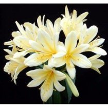 Clivia 'Golden Dragon' - Bush Lily