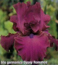 Iris 'Gypsy Romance' - Tall Bearded Iris