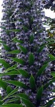Echium pininana - Tower of Jewels, Pride of Tenerife, Tajinaste, Taginaste