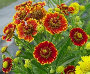 Photo Gallery: Helenium autumnale 1 | About-