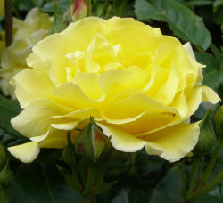 Rosa 'Friesia' - Rose