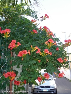 trumpet vine campsis does it grow in bulgaria