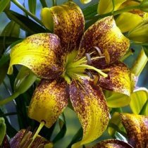 Lillium 'Honey Bee' - Tango Lily Honey Bee