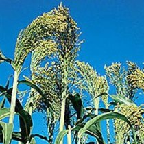 Sorghum bicolor - Broom Corn