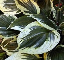 Hosta 'Independence' - Hosta
