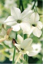 Nicotiana alata - Jasmine Tobacco | plants / annuals | About-