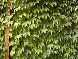 Parthenocissus Tricuspidata Veitchii About Garden Com