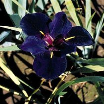 Iris 'Black Gamecock' - Louisiana Iris