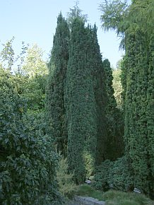 irish yew tree. Black Bedroom Furniture Sets. Home Design Ideas