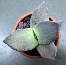 Pleiospilos bolusii - Living Rock Cactus